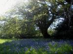 A drift of bluebells flowering in the meadow