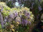 Wisteria bursting with colour and perfume along the walled garden.
