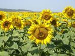 sunflowers in a nearby field