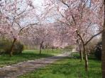 The Cherry Avenue. Spring time.