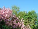 Garden with cherry blossom - Garten mit Kirchenblumen