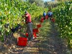 a Settembre puoi aiutarci anche te a raccogliere la nostra uva