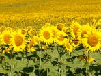 Sunflowers in the local fields in July - the sunflower is the iconic image of Gascony