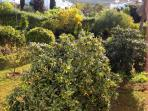 Orchard area in the garden, orange, grapefruit and lemon trees. Handy for breakfast or a G&T!!