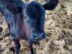 3wks old calf