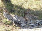 I ghepardi del parco nazionale dello  Tzavo