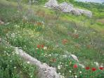 spring wild flowers including poppies near CASA AVA