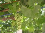 our fruitful grapes from ancient vines - front terrace CASA AVA