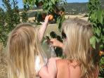 Picking apricots from Villa Casa Sonana's private orchard.