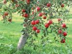 The garden is full of apple trees