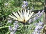 Gli intensi profumi delle erbe aromatiche sono un invito irresistibile per api e farfalle