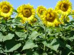 The quintessential French sunflowers in the fields around the house