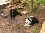 The Ford Wetley Dogs, Paddy and Murphy.