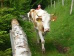 During summer the farmer brings his 5 cows home behind our chalets every afternoon around 4pm