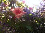 les roses du jardin - garden roses