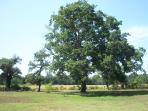 beautiful oak tree