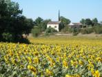 VIEW OF FOURNOU FROM THE SUNFLOWER FIELD