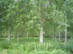 The silver birch wood  behind the house