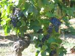 Local vines, and many vinyards to visit