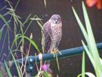 Local Sparrowhawk