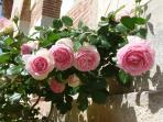 les roses Pierre de Ronsard