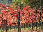 Sagrantino grape vines in glorious autumnal colour outside the town