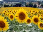 Bella Bevagna is a medieval town surrounded by agriculture: olive trees, grape vines and sunflowers
