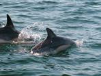 Dolphins, Kenmare Estuary, Sep'07