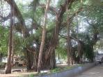 Banyan Trees in the village
