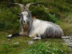 Wild Goat at Valley of Rocks