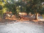 Hammocks hung from olive trees to relax
