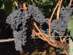 uva Sangiovese,nella mia cantina una piccola produzione di vino rssso con metodo tradizionale