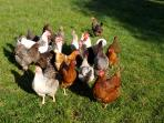 Kate's Happy Helford Hens live in the meadows along the lane and provide golden yolked eggs.