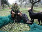 Olive picking in October