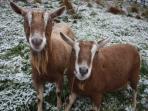 Bovisand Heritage Apartments - Bovisand Goats