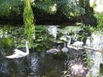 Swan family return every year, ducks and swans turn up everyday at feeding time.
