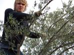 Olive picking in our grove producing highest quality organic oil.