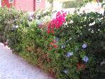 Lovely traditional spainish bouganvillia and exotic plants surrounding villa