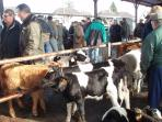 Gavray calf market
