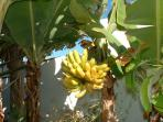 Banana plant in our garden