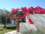View of lovely Bourganvillea Blooms in Perogil's gardens