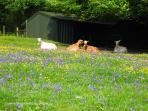 Another sunny and relaxing day for the goats