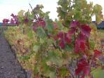 Viñas de la Conca de Barberá en otoño