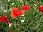 red poppy in our garden