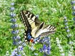 Lots of butterflies on our Lavander