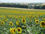our view across sunflower fields - even better with a glass of wine