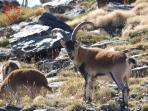 Cabra Montés, naturaleza