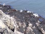 Seals basking on the rocks off Worm's head