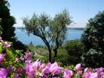 the garden with olive groves and bouganvilles.,