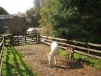 Shrek (the white donkey) with her baby foal, Rosie, born Aug 2011, taking a walk